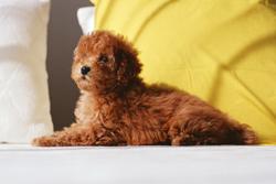 椎間板ヘルニアになりやすい犬種